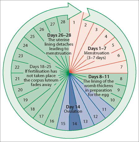 The menstrual cycle and fertilization obgyn key 41 a diagram of the menstrual cycle the follicular phase constitutes the period beginning with menstruation and ending at ovulation which is approximately ccuart Image collections
