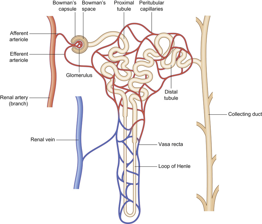 Nephrology obgyn key 193 schematic diagram of a nephron the blood supply originates from the renal artery red and leaves via the renal vein blue blood passes through two ccuart Choice Image