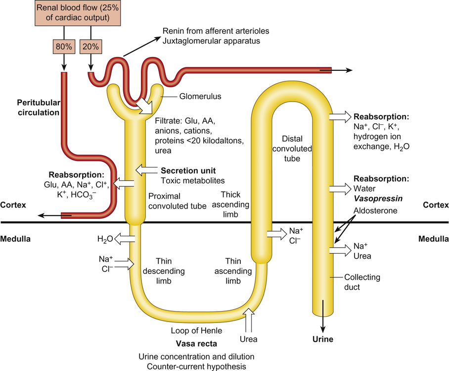 Nephrology obgyn key 194 diagrammatic representation of the major transport sites across the nephron apart from macromolecules the glomerular filtrate contains glucose ccuart Choice Image