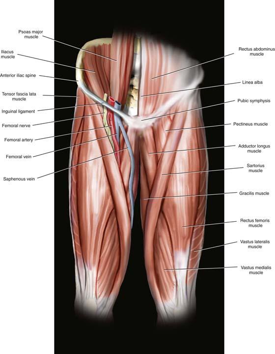 Femoral Nerve Artery Vein Anatomy Craftbrewswagfo
