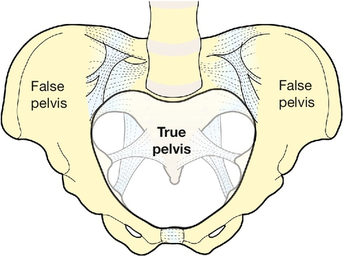 Clinical Pelvic Anatomy