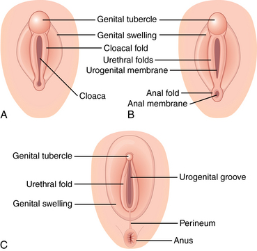 Female Genitalia Obgyn Key
