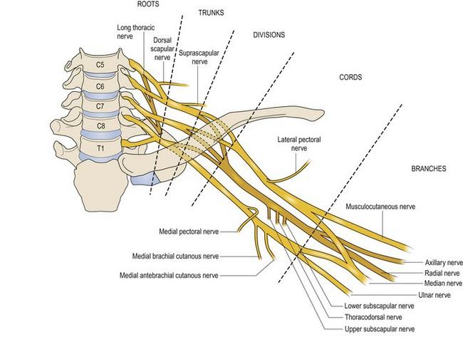Anatomy Of The Brachial Plexus Obgyn Key
