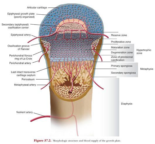 Growth Plate Anatomy Obgyn Key