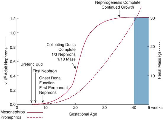 Development of renal function obgyn key schematic representation of the relationship between nephron formation and gestational age during human fetal renal development ccuart Images