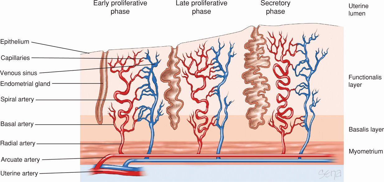 implantation and placental development obgyn key